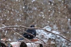 Mirlo bajo la nevada